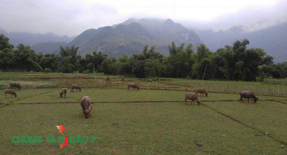 Cánh đồng thả đầy trâu ở Mai Châu